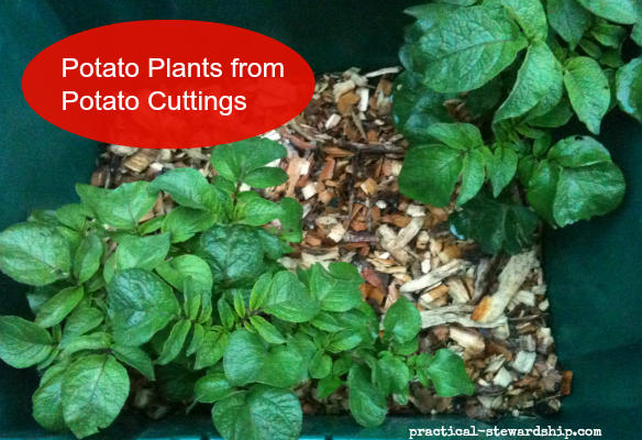 Potato Plants from Potato Cuttings
