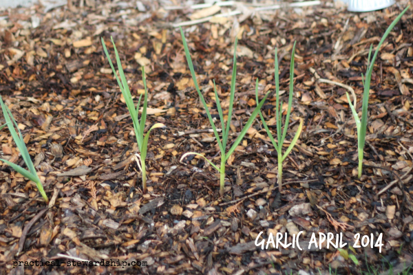 Garlic April 2014