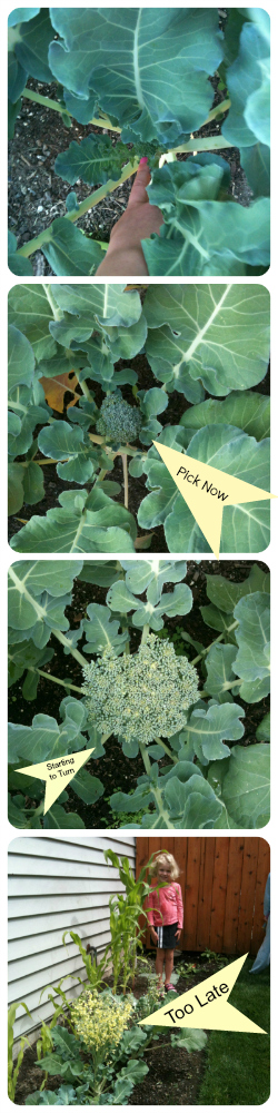 Growing Broccoli with Tips