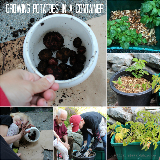 Growing Potatoes in a Container