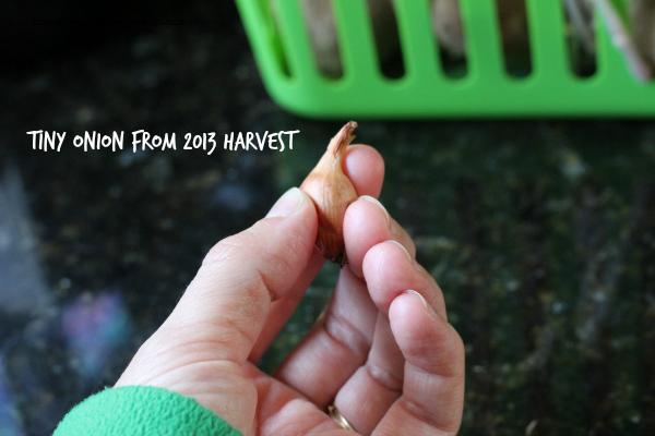 Onion Harvest 2013